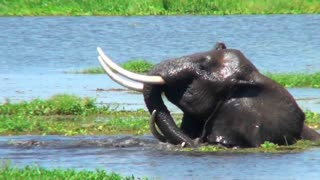 Elephants wrestle and fight in a swamp.