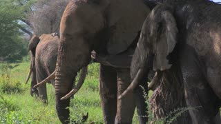 Giant African elephants use a local tree to scratch their itches.