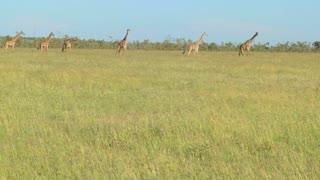 Giraffes cross a golden savannah of grass in Africa.