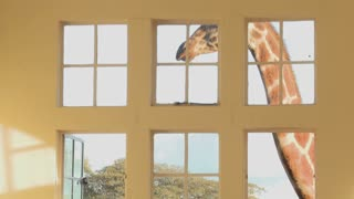 Giraffes stick their heads into the windows of an old mansion in Africa and eat off the dining room table.