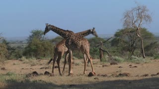 Giraffes tussle and fight in a display of mating behavior.