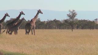 Giraffes walk across the plains of Africa.