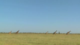Giraffes walk in the distance across the African savannah.