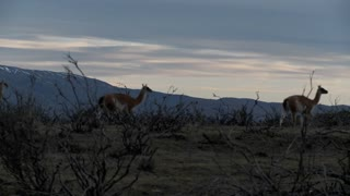 Gorgeous guanaco llamas walk across an open plain in Argentina with the Andes in the background, Patagonia.