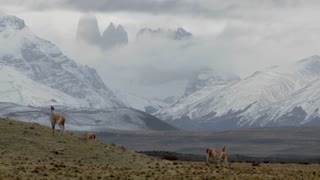 Gorgeous guanaco llamas walk across an open plain in Argentina with the Andes in the background, Torres Del Paine, Patagonia.