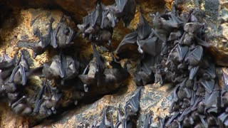 Groups of bats hang on a wall at the Pura Goa Lawah Temple, or the Bat Cave Temple in Indonesia.