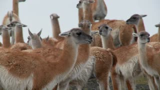 Guanacos cluster together for warmth in the Andes mountains, Patagonia. Torres Del Paine.
