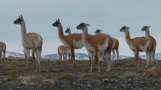 Guanacos stand together in formation  in the Andes mountains, Patagonia.