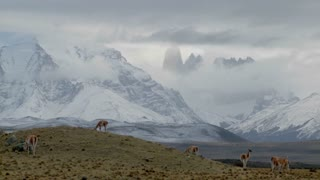 Guanacos stand together in formation in the distance  in the Andes mountains, Patagonia, Torres Del Paine.
