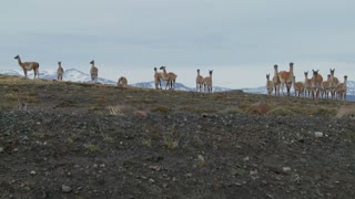 Guanacos stand together in formation in the distance  in the Andes mountains, Patagonia.