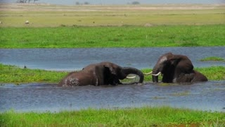 Juvenile elephants play and tussle in a watering hole in Africa.