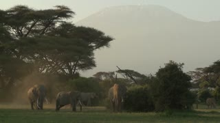 Large herds of African elephants migrate near Mt. Kilimanjaro in Amboceli National Park, Tanzania.
