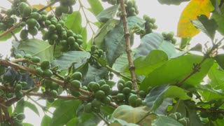 Low angle panning shot across coffee berries growing in a tropical location.