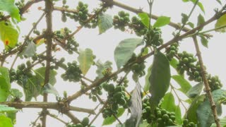 Low angle shot across coffee berries growing in a tropical location.