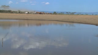 Masai cattle and cows are herded to a watering hole in Kenya.
