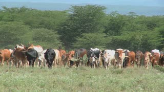 Masai tribesman herd their cattle in kenya.