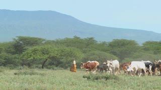 Masai tribesmen herd their cattle in Kenya.