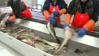 Men work cutting and cleaning fish on an assembly line at a fish processing factory.