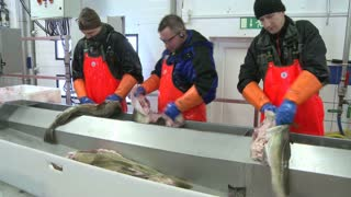 Men workcutting and cleaning fish on an assembly line at a fish processing factory.