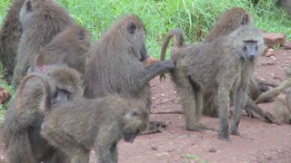 Pan across large family of baboons sitting on ground picking fleas and ticks off each other in grooming ritual.