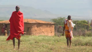 Red robed Masai walking in fields leading cattle.