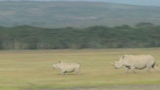 Rhinos cross a grassy plain.