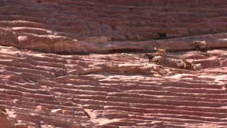 Sheep and goats walk around the ancient amphitheater in Petra, Jordan.
