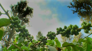 Time lapse of coffee beans growing on a coffee plantation in the tropics.