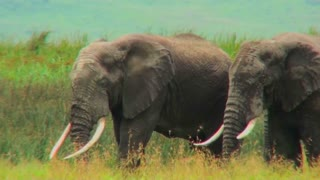 Two elephants graze on the plains of Africa.