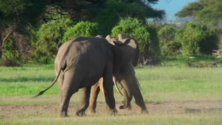Two elephants lock tusks and fight on the plains of Africa.