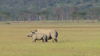 Two rhinos in a grassy field.