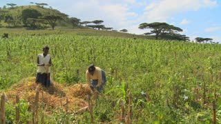 Two women work in the fields on a farm in Africa.