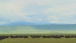 Vast herds of cape buffalo graze at Ngorongoro Crater in Tanzania, Africa.