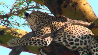 An African leopard lounges in a tree.
