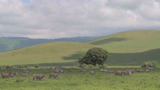 Wide shot of green rolling hills of Africa with zebras grazing.