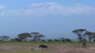 Wildebeest walk in front of Mt. Kilimanjaro in Amboceli National Park, Tanzania.