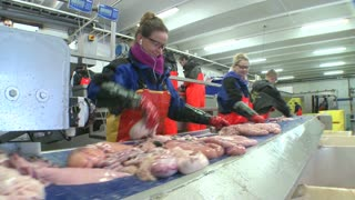 Women work cutting and cleaning fish on an assembly line at a fish processing factory.