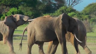Young elephants fight and tussle in this mating ritual.