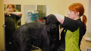 A professional groomer in my shop cuts a large black Terrier with clippers hair. Cut ears of the dog