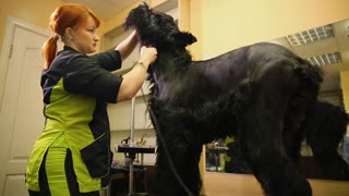 A professional groomer in my shop cuts a large black Terrier with clippers hair. Electric clippers dogs