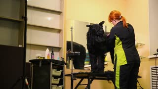 A professional groomer in my shop cuts a large black Terrier with clippers hair. The black Russian shepherd dog
