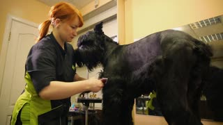 A professional groomer in my shop cuts a large black Terrier with clippers hair. Workshop on grooming dogs