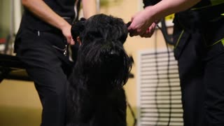 Close-up of a groomer's hand cutting a dog in a beauty salon for dogs using an electric clipper. Dog ears