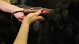 Close-up of hands and clipper hair cut black hair of the dog