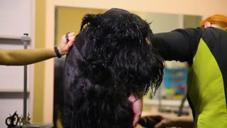 Two women professional grommers dry the dog with a hair dryer after washing