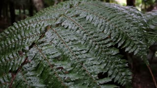 Tree fern in native forest, moving with wind on a rainy day