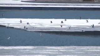 A flock of seagulls fly over the icy Ohio River near Pittsburgh, PA.