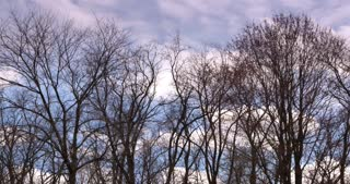 A group of trees without leaves blowing in the wind.