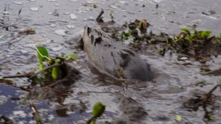 A Nutria Rat in the Swamps of Louisiana 4023