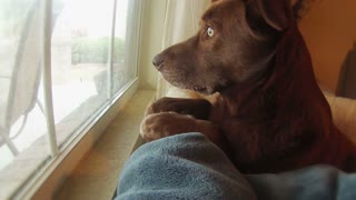 A sad dog looks out the window waiting her owner to return home.